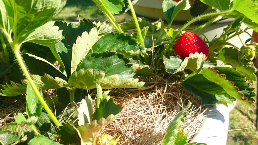 我が家の苺も食べ頃になりました(^w^) マメにお世話してくれる母に感謝♪感謝♪