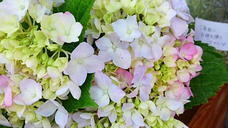 紫陽花が咲く季節になりました🐞 ラッピングしていないですが、ご自由にお持ち帰りくださいませ(^-^)
